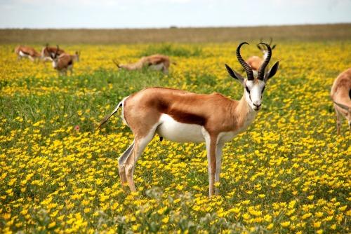 antelope-425161_1920