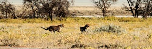 cheetah-1305790_1920