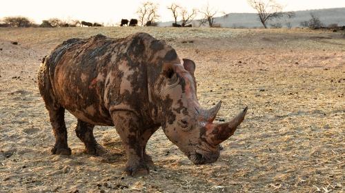 rhino-1170133_1920