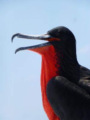 frigate-bird-frigate-galapagos-seabird