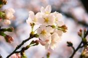 sakura-1079389_640