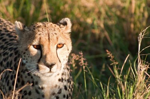 cheetah-1083274_640