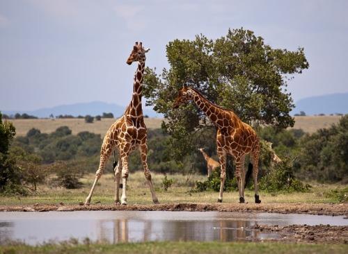 giraffe-163036_640