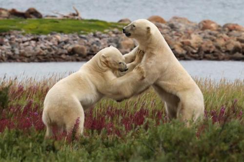 Polar Bears _23 von 44_