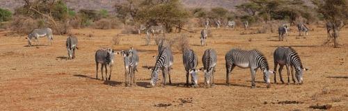 zebra-2668655_640