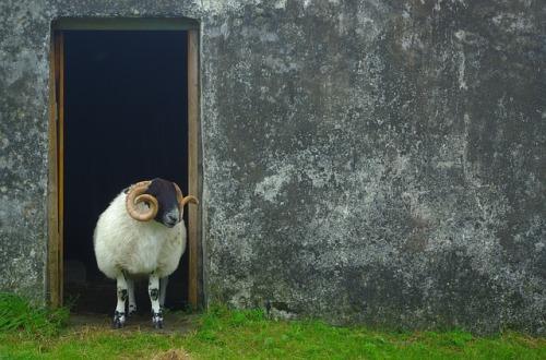 sheep-2543349_640.jpg
