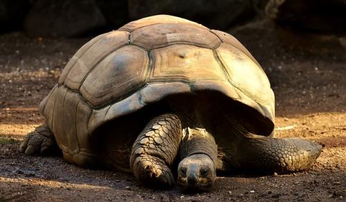 giant-tortoises-2872006_640