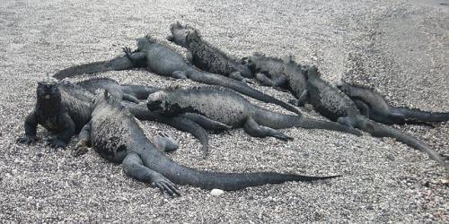 iguana-20894_640