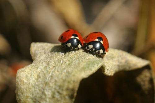 lady-bug-3292238_640