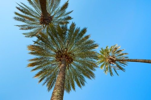 palm-trees-660445_640