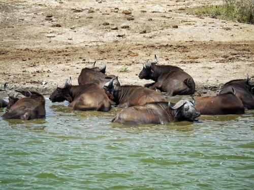 buffalo-1536356_640