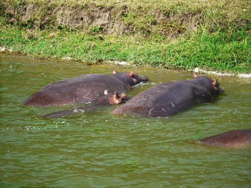 hippos-1536357_640