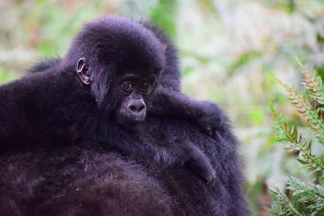 METAL REFRIGERATOR MAGNET Male Female Silverback Gorillas Eating Fruit Gorilla