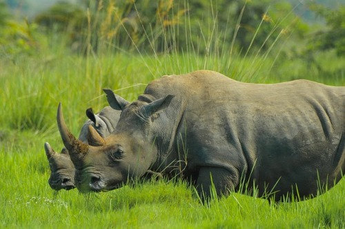 rhino-2878222_640