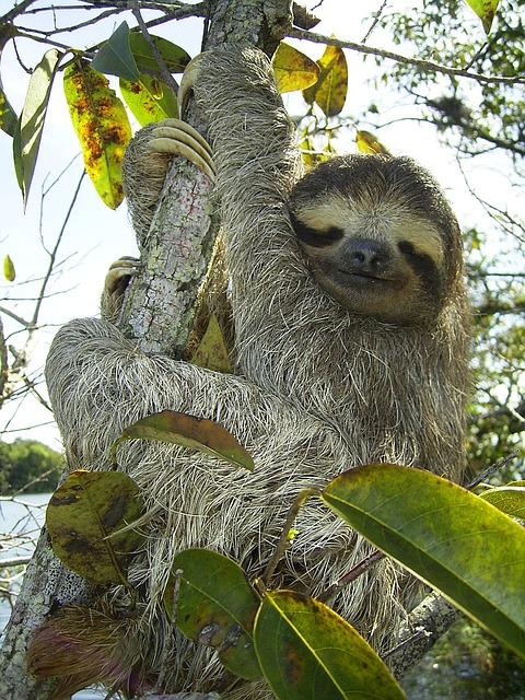 pygmy-sloth-62869_640